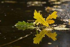 在水坑的橡木叶子 免版税库存照片