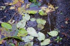 在水坑的秋天叶子 库存图片