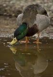 在水坑的鸭子 免版税库存图片