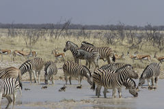在水坑,埃托沙国家公园,纳米比亚的平原斑马 库存照片