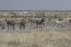 在水坑,埃托沙国家公园,纳米比亚的平原斑马 免版税库存图片