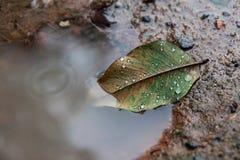 在水坑,水的秋天叶子在叶子滴下 库存图片