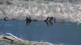 在水水坝的海狸在乌斯怀亚 股票视频