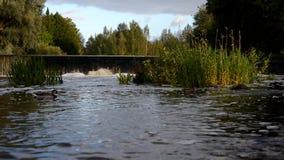 在水坝的鸭子游泳 股票录像