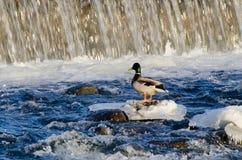 在水坝的鸭子 库存图片