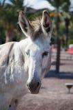 在费埃特文图拉岛的野生驴在夏天 图库摄影
