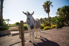 在费埃特文图拉岛的野生驴在夏天 免版税库存照片