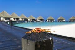 在柴堆的螃蟹 免版税库存照片