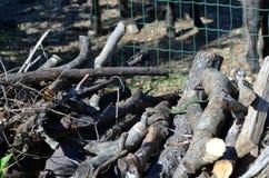 在柴堆Chrysopelea ornata的小绿色藤蛇 免版税图库摄影