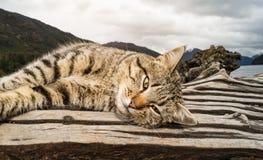 在巴塔哥尼亚的猫,阿根廷 免版税库存照片