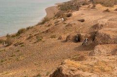 在巴塔哥尼亚的麦哲伦企鹅 库存照片