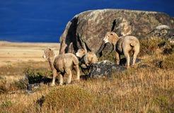 在巴塔哥尼亚的绵羊 免版税图库摄影