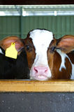 在水壶的幼小小牛 免版税图库摄影