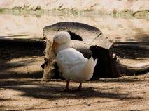 在水外面的一只白色鸭子 免版税库存照片