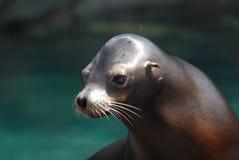 在水外面的可爱的海狮小狗 库存照片