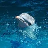 在水外面的海豚头 免版税库存图片
