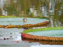 在维多利亚莲花叶子的一只中国池塘苍鹭鸟,曼谷 免版税库存图片