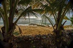 在巴巴多斯西北海岸的椰子树与加勒比海的镇静大海在背景中 免版税库存照片