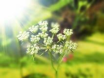 在晴天光的茴香籽开花的上面 图库摄影