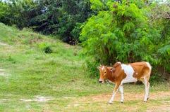 在晴天威胁吃草在一个绿色草甸 动物农场横向许多sheeeps夏天 免版税库存图片