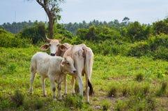在晴天威胁并且产犊吃草在一个绿色草甸 动物农场横向许多sheeeps夏天 免版税库存图片