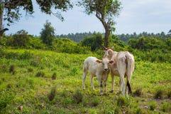 在晴天威胁并且产犊吃草在一个绿色草甸 动物农场横向许多sheeeps夏天 免版税图库摄影