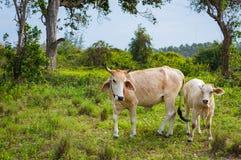 在晴天威胁并且产犊吃草在一个绿色草甸 动物农场横向许多sheeeps夏天 库存图片