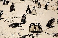 在晴天期间,在海滩的非洲企鹅 免版税库存图片