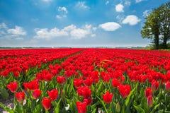 在晴天期间,美丽的红色郁金香,荷兰 库存照片
