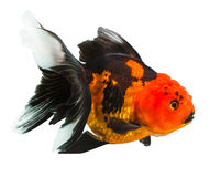 在黑太阳的一条金鱼 免版税图库摄影