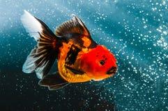 在黑太阳的一条金鱼 库存图片