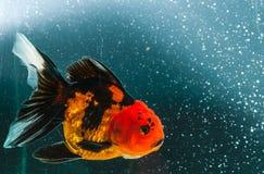 在黑太阳的一条金鱼 免版税库存照片