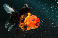 在黑太阳的一条金鱼 免版税库存图片