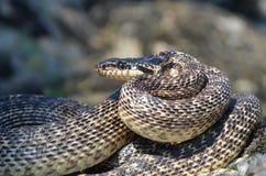 在攻击姿势的蛇 库存图片