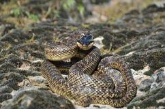在攻击姿势的蛇 免版税库存图片