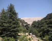 在黎巴嫩雪松中 图库摄影