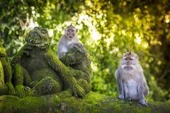 在猴子森林的猴子 库存照片
