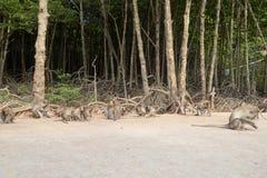 在猴子海岛上的野生猴子 免版税库存图片
