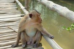在猴子海岛上的野生猴子 库存图片