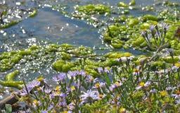 在水小河附近的紫罗兰色花 库存照片