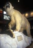 在费尔班克斯博物馆/天文馆的被充塞的北极熊在圣Johnsbury, VT 免版税图库摄影