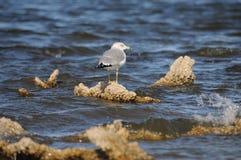 在索尔顿湖加利福尼亚的海鸥 库存照片