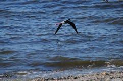 在索尔顿湖加利福尼亚的黑收缩的高跷 免版税库存图片