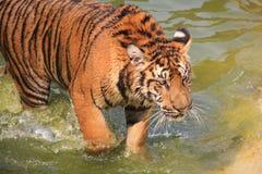 在水展示头的孟加拉老虎步行 免版税库存图片