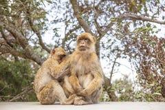 在直布罗陀岩石的两只短尾猿 免版税库存照片