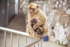 在直布罗陀岩石的两只短尾猿 库存照片