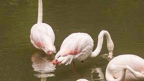 在水干净的羽毛的桃红色火鸟立场 股票录像