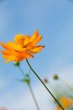 在水平的波斯菊橙色花 库存图片