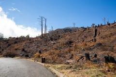 在2016年火非常毁坏的马德拉岛的世界遗产森林 一些树有生活极大的意志并且生存了此 免版税库存图片