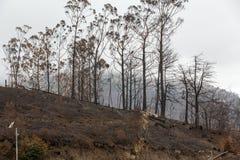 在2016年火非常毁坏的马德拉岛的世界遗产森林 一些树有生活极大的意志并且生存了此 库存图片